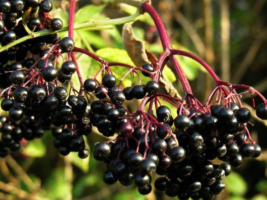 Fekete Bodza - Sambucus nigra 'Black Lace', konténeres