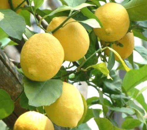 Termő citromfa
