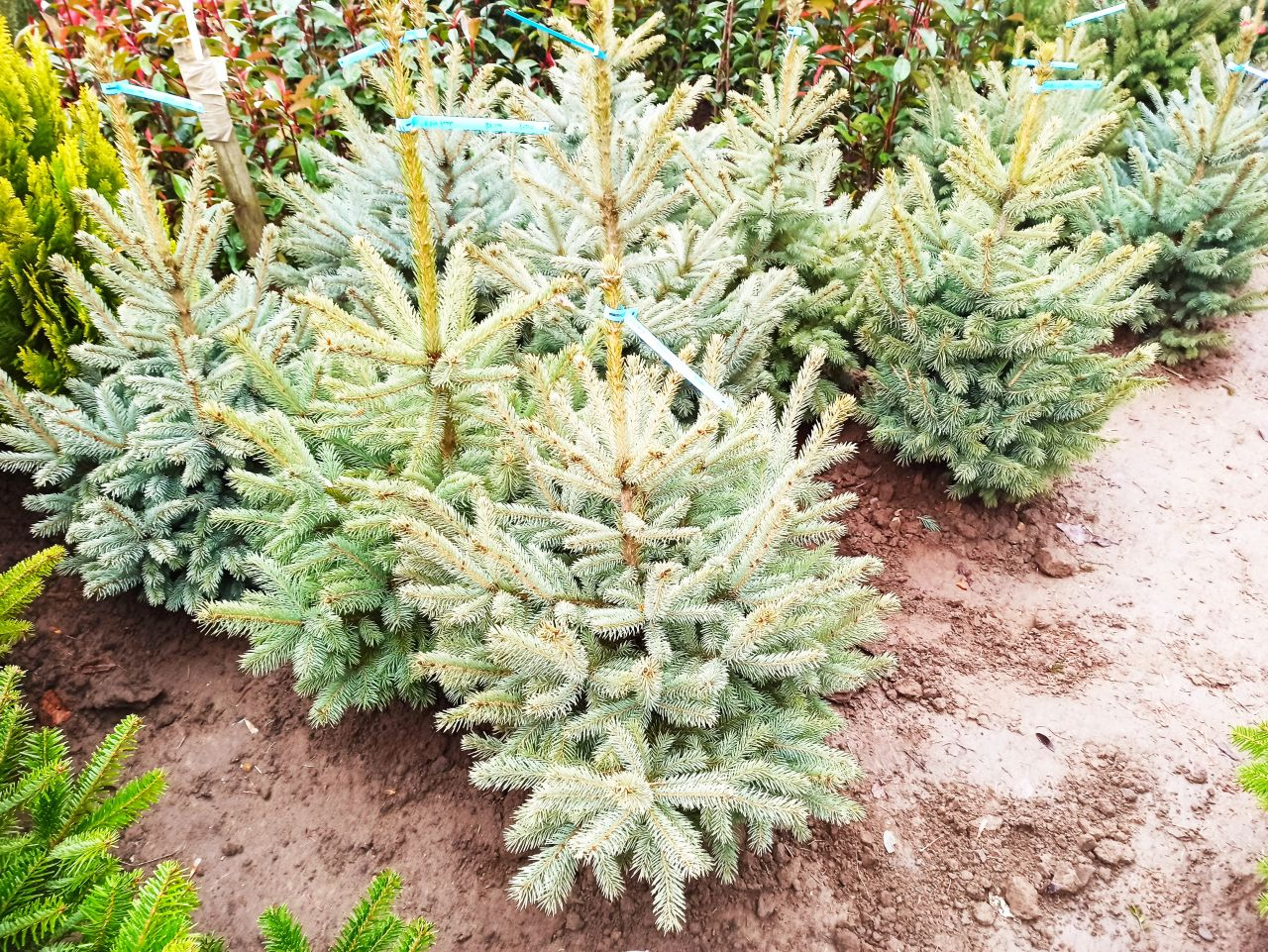 Picea pungens glauca - Ezüstfenyő, 60/80 cm